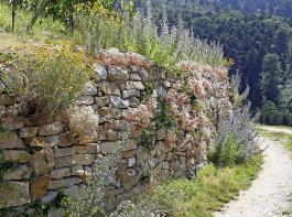 Die Trockenmauerblüte ist ein Paradies für Insekten.