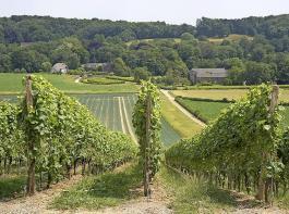 Bei dieser Landschaft kommen einem nicht gleich die Niederlande in den Sinn: Rebflächen des Weinguts Apostelhoeve.