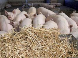 Raufutter muss künftig zusätzlich und separat angeboten werden – zum Beispiel wie hier in einer Raufe. Das ist eine der Änderungen für Schweinehalter, die an der Initiative Tierwohl teilnehmen.