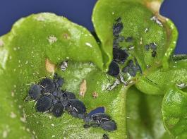 Läuse an einem Zuckerrübenblatt