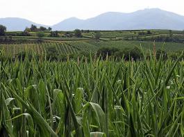 Der BLHV-Umweltausschuss erörtere Probleme für Mais, vor allem für Saatmais, durch die neue GAP.