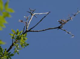 Eschentriebsterben, verursacht durch die aus Asien eingeschleppte Schlauchpilzart Chalara fraxinea.