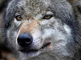 Die Verfasser des Aktionsplans bestreiten, dass es sich bei den Wölfen in Deutschland um eine eigenständige Population handelt.
