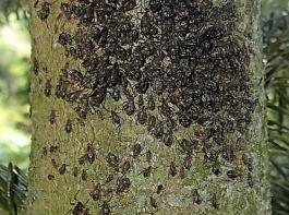 Eine Kolonie der Großen schwarzbraunen Tannenrindenlaus.