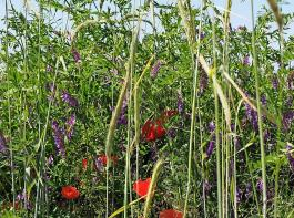 Blühstreifen und andere Leistungen für die Biodiversität müssen ordentlich vergütet werden, mahnt der DBV.