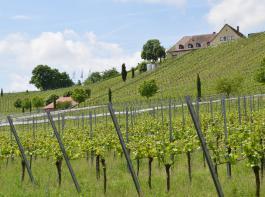 Das Staatsweingut Blankenhornsberg bei Ihringen