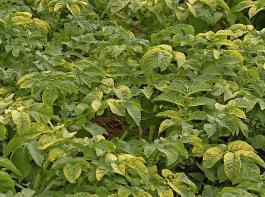 Für diesen Herbizidschaden an Kartoffeln könnte eine ungenügende Reinigung der Feldspritze vor der Fungizidspritzung verantwortlich sein.