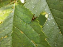 Kirschfruchtfliege bei der Aufnahme des combi-protec-Köders auf dem Blatt.
