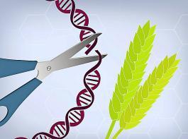 Forscher fordern, die mit der  Genschere CRISPR/Cas modifizierten Sorten unter das klassische Züchtungsrecht zu fassen.
