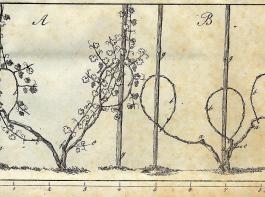 Die überlieferte Zwei- bis Drei-Schenkel-Methode: Eine Art Reben-Reset des Mittelalters. Aus: Der Rheinische Weinbau von Joh. Metzger, Heidelberg 1827.