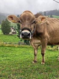 Kauschläge zählen und Wiederkauen von Fressen unterscheiden. Das kann das Halfter dieser Kuh.