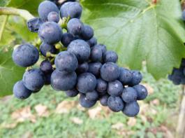 2015 konnten die Winzer meist vollreife, durchgefärbte und kerngesunde Trauben ernten – hier eine vollrreife, lockere Spätburgundertraube.