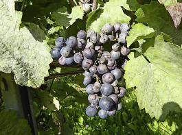 Oidiumbefall der reifen Beeren führt häufig zum Platzen.