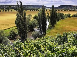 Für das Anbaugebiet Saale-Unstrut wurden 17 Hektar neue Rebflächen genehmigt. Bisher sind es knapp 800 Hektar.