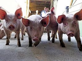 Vom Preishoch ins tiefe Tal: Schweinehaltende Betriebe sehen sich derzeit mit extremen Niedrigpreisen für ihre Tiere konfrontiert.