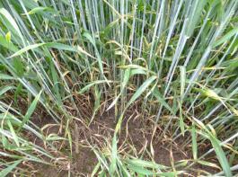 Von Blattseptoria befallener Weizen – die Landwirte sollten die Infektion in Grenzen halten mit der Wahl einer widerstandsfähigen Sorte, einem guten Strohmanagement und der Wahl des optimalen Spritzzeitpunktes je nach Wetter.