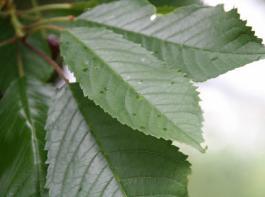 Tropfbild einer combi-protec-Anwendung auf Kirschblättern. Die Ausbringung erfolgt bei hohen Baumformen bevorzugt mittels feinem Spritzstrahl ohne Luftunterstützung oder Injektordüsen mit Luftunterstützung am Sprühgerät.