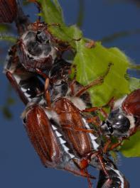 Zum Reifungsfraß sammeln sich an exponierten Bäumen  im Frühjahr die Maikäfer.