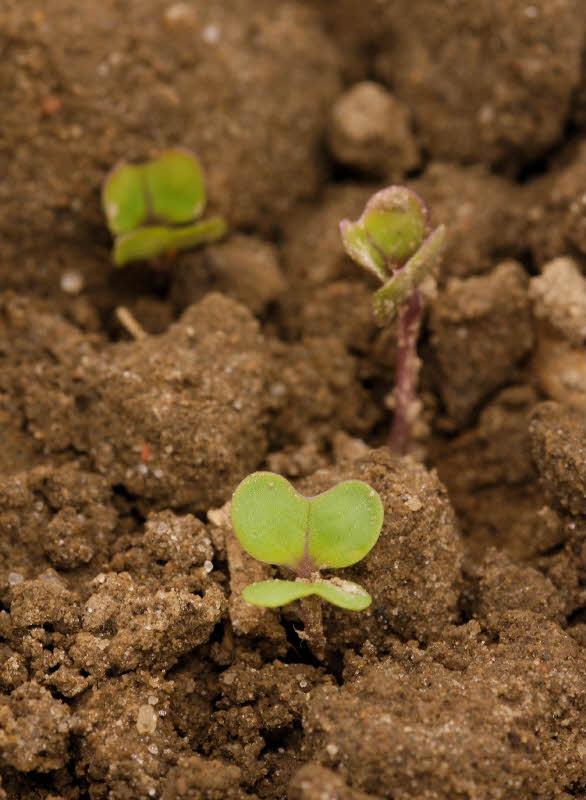 Prächtig Viele Rapssorten haben Potenzial - Pflanzenbau - Badische Bauern #DF_19