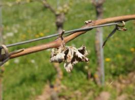 Der Spätfrost im April diesen Jahres schädigte viele Winzer extrem stark.