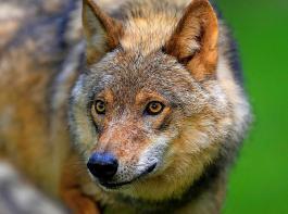 In den Streit zwischen Bundesumwelt- und Bundeslandwirtschaftsministerium zum Umgang mit dem Wolf schaltete sich zuletzt das Kanzleramt ein und erwirkte einen Kompromiss.
