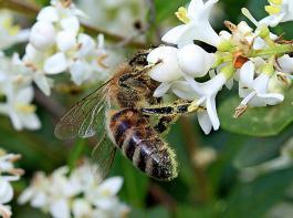Bayern als Blaupause: Die Initiatoren des Volksbegehrens in Baden-Württemberg gehen mit dem Schutz der Bienen auf Stimmenfang.