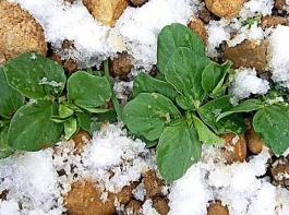 Winterackerbohnen können Niederschläge und Bodenwasser im Winter effektiver nutzen als die Sommerformen.