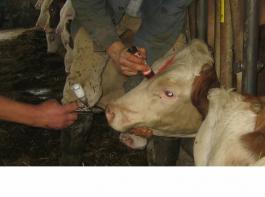 Die rechtzeitige Impfung der Nachzucht war einer der Grundpfeiler   der BHV1-Sanierung, hier intranasale Impfung mit Lebendimpfstoff.