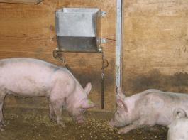 Am Pelletspender  rütteln Schweine an einer Kette, um an  Pellets zu gelangen.