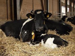 Kuh und Kalb vereint. Bei der muttergebundenen Kälberaufzucht verbleibt das Kalb für einige Wochen bei seiner Mutter, diese wird zusätzlich gemolken.
