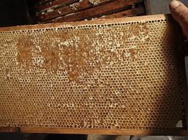 Melezitosehonig, der in den Zellen fest auskristallisiert, ist ein großes Ärgernis. Er kann nicht geerntet werden und ist absolut ungeeignet für die Überwinterung von Bienenvölkern.