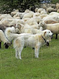 Aus dem Bundesprogramm Wolf sollen die laufenden Kosten der Wanderschäfer für den Herdenschutz gedeckt werden.