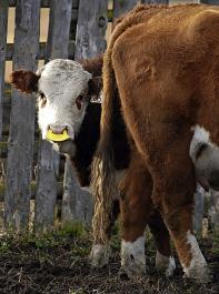 """Saugentwöhner, sogenannte """"Nose-Flaps"""", werden in die Kälbernase geklemmt und hängen bei einem Saugversuch zwischen Kälbermaul und Zitze. So können die Kälber nicht saugen, die Festfutter- und Wasseraufnahme ist aber weiterhin möglich."""