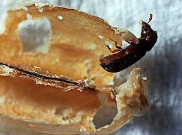Nur wenige Vorratsschädlinge, wie der Getreidekapuziner, können auch ganze, unversehrte Getreidekörner befallen.