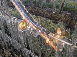 Frostberegnung: Der sich bildende Eispanzer schützt  empfindliche Pflanzenteile.