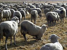 Typisch für Schafe mit Moderhinke:  Entlastung der schmerzenden Klauen durch Knien.