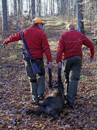 In der Wojewodschaft Großpolen wurde zur ASP-Vorbeugung die intensive Bejagung des Wildschweinebestands angeordnet.