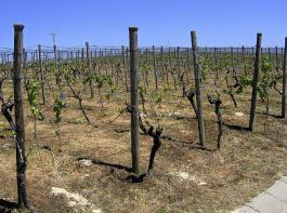 Nicht notwendiger und nicht zulässiger Herbizideinsatz auf der gesamten direktzugfähigen Weinbergfläche.