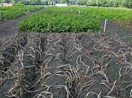 Kartoffel-Versuchsfeld mit Krautfäule-Parzellen