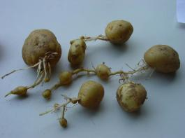 Kettenwuchs an Kartoffeln gefährdet die Vermarktung der Ware.