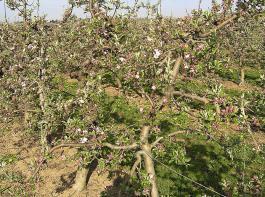 Unkrautfreie Baumstreifen in einer Apfelanlage