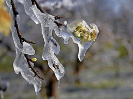 Viele Obsterzeuger haben versucht, die Schäden durch  Frostberegnung einzudämmen.
