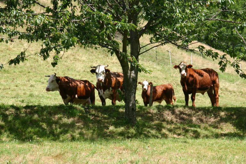 Fabelhaft Regionales Bio-Rindfleisch ist sehr gesucht - Betrieb und &FP_46