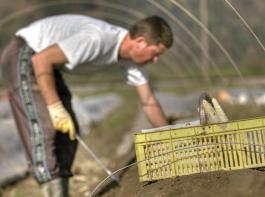Deutschlands Landwirte beschäftigen nach amtlichen Statistiken rund 314000Saisonarbeitskräfte. 90 Prozent davon kommen aus dem Ausland – vorwiegend aus Osteuropa.
