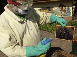 Mit Oxuvar 5,7 % (verdünnt mit Wasser etwa 3-prozentige  Lösung)  dürfen seit 2017 Bienenvölker ohne verdeckelte Brut auch während der Saison behandelt werden. Wichtig: Immer mit dem Wind sprühen und die Waben über das Volk halten. Benetzt werden müssen  jede bienenbesetzte Seite und auch die Kasteninnenwände.