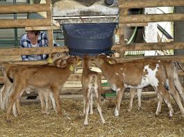 Kälber in Gruppenhaltung  haben ein erhöhtes  Risiko für gegenseitiges Besaugen. Daher ist es wichtig, sie nach der Fütterung zu beobachten, um Sauger rechtzeitig zu erkennen.