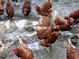 In der Vegetationsruhe bilden sich Kahlstellen im stallnahen Bereich. Bei feuchter Witterung werden Pfützen und Schlamm zum Problem für die Gesundheit der Tiere und die Hygiene im Mobilstall.