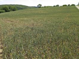 Vom Weizenverzwergungsvirus (WDV) stark geschädigter Winterweizen.