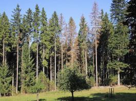 Nadelwald mit Käferloch – hier muss eingegriffen werden.