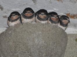 Rauchschwalben nehmen Nistangebote unter Dachvorsprüngen gerne an.
